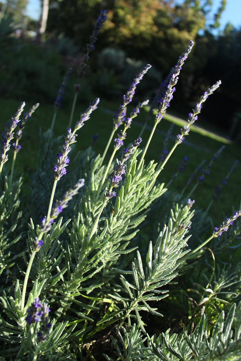 lavender the backyard farm. Black Bedroom Furniture Sets. Home Design Ideas